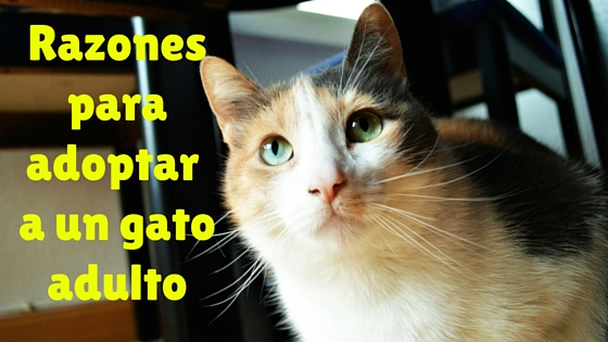 Blog sobre gatos adoptar gato adulto