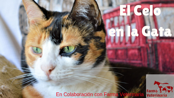 El celo en la gata- La Guarida de mis gatos- Blog sobre gatos
